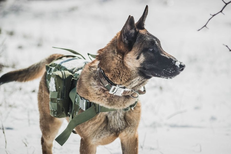 What Is A Belgian Malinois