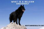 What Is A Belgian Sheepdog
