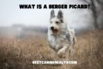 What Is A Berger Picard?