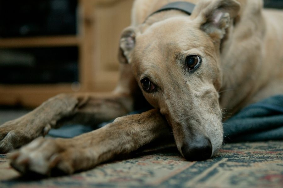 What Is A Greyhound