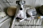 Are Whippets High Maintenance?