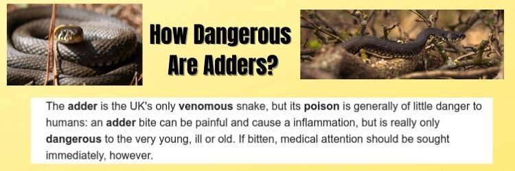 How Dangerous Are Adders