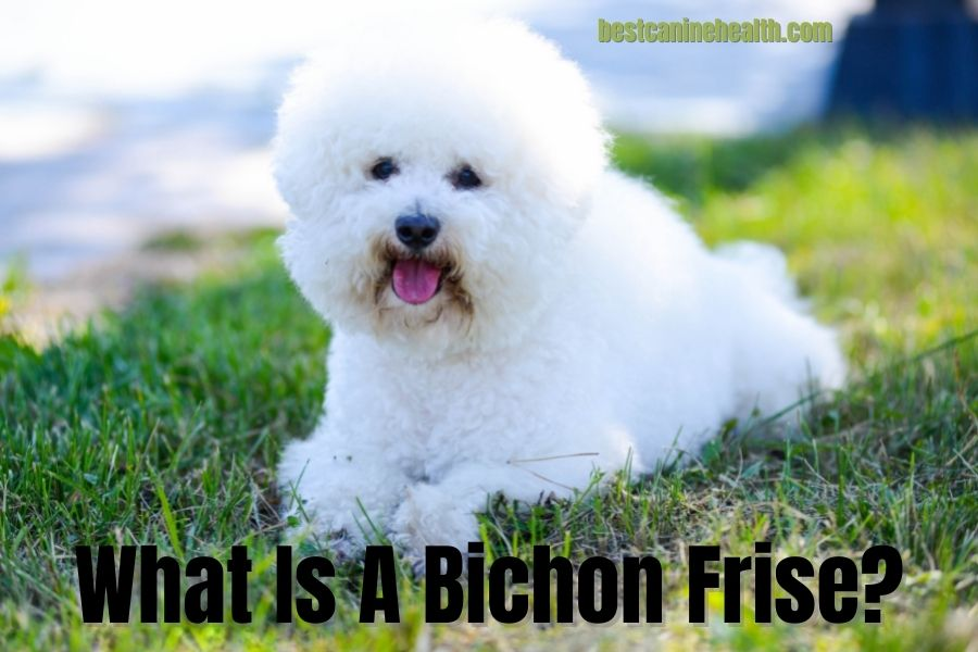 What Is A Bichon Frise