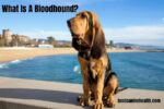What Is A Bloodhound?