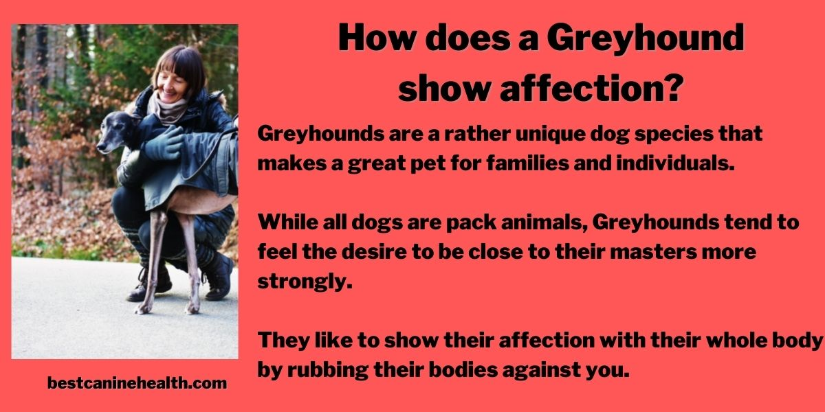 How does a Greyhound show affection?