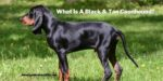 Whаt Is A Black & Tan Coonhound?