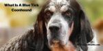 What Is A Blue Tick Coonhound