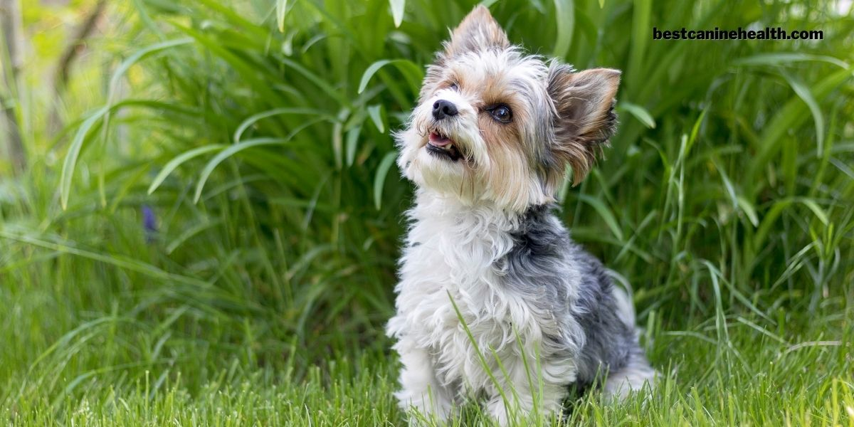 What Is A Biewer Terrier-Find Out Today!