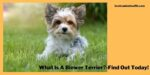 What Is A Biewer Terrier?-Find Out Today!