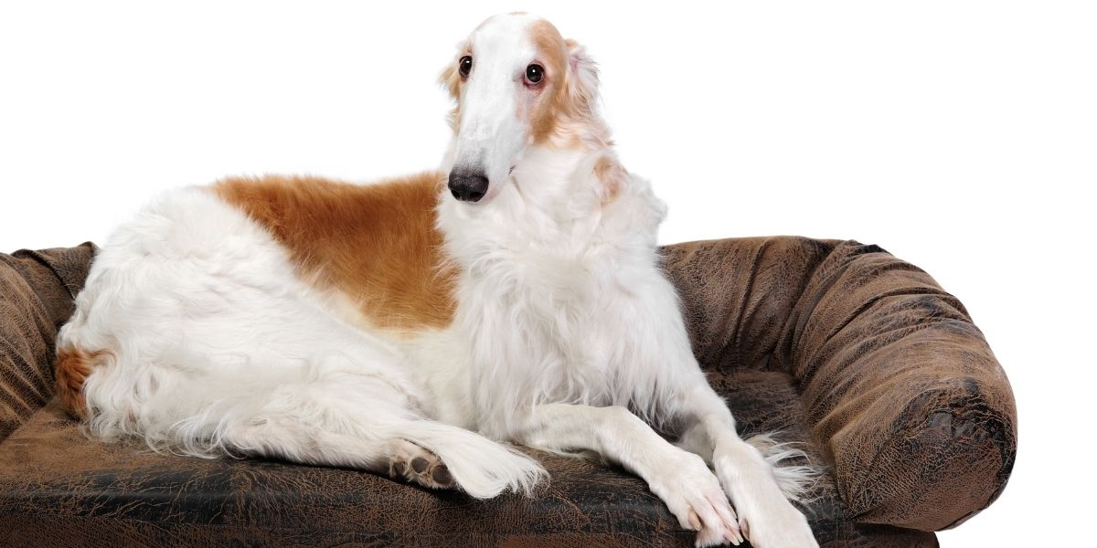 What Is A Borzoi