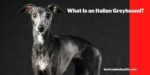 What Is an Italian Greyhound?