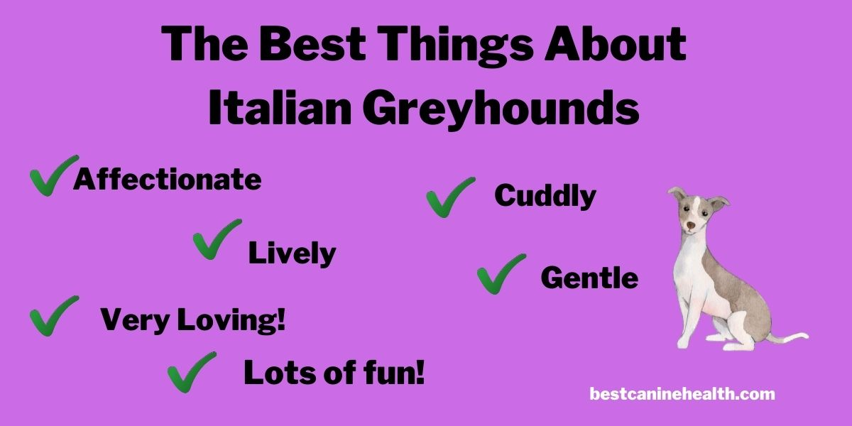 What Is an Italian Greyhound (2)