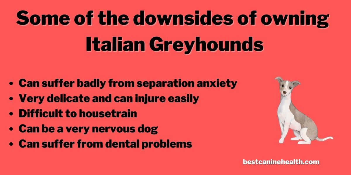 What Is an Italian Greyhound