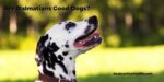 Are Dalmatians Good Dogs