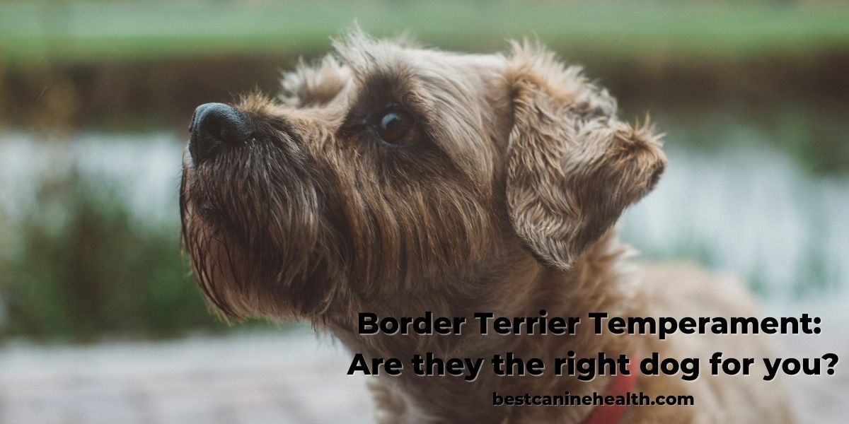 Border Terrier Temperament Are they the right dog for you