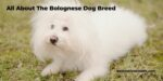 The Bolognese Dog Breed
