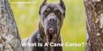 What Is A Cane Corso