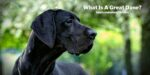What Is A Great Dane