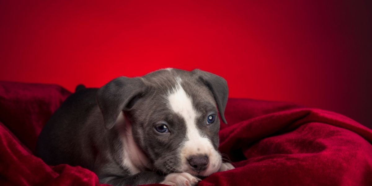 What Is an American Pit Bull?