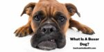 What Is A Boxer Dog