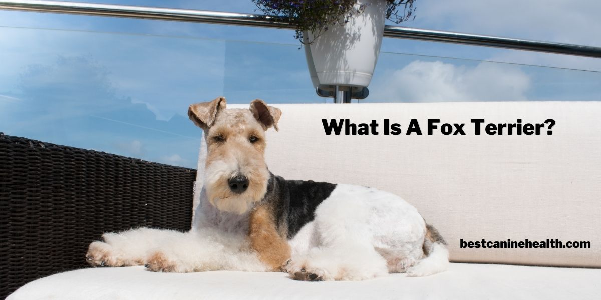 What Is A Fox Terrier?